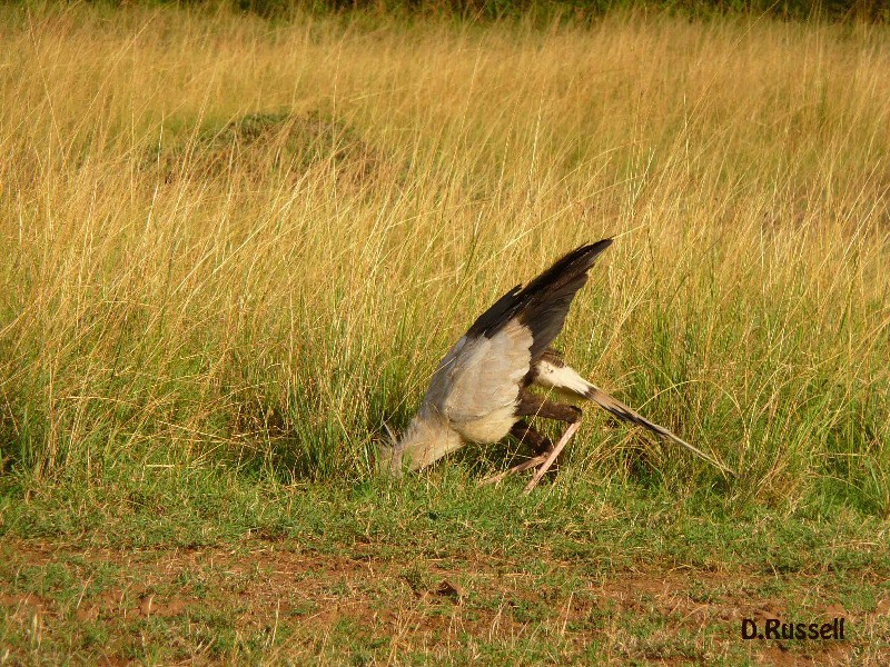 Secretary Bird hunting