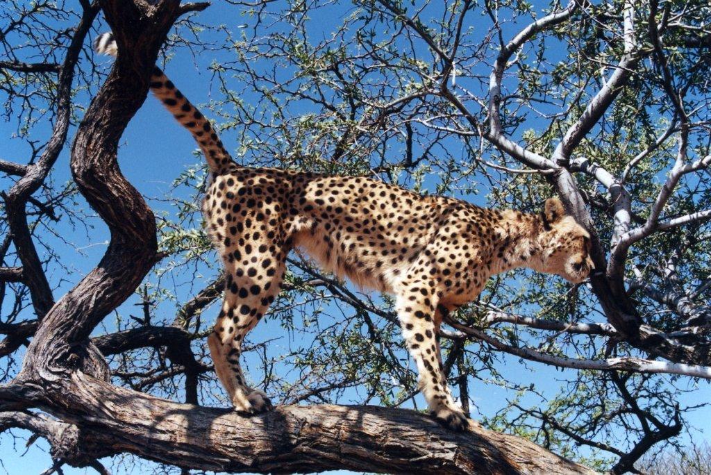 Cheetah marking a tree in Namibia. 2000