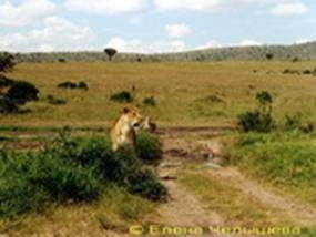 Lioness attacked cheetah female – mother of 4 cubs, but did not hurt her (Mara, 2002)