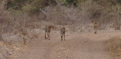 Cheetah family in the Meru National Park, 2011