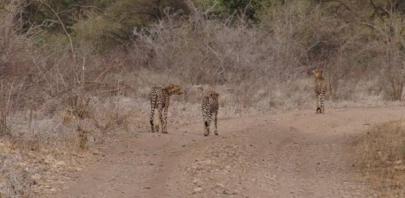 Cheetah family in the Meru National Park, 2011