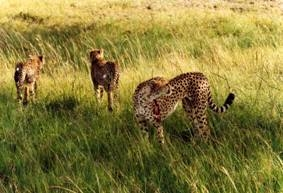 Same cheetah female after leopard's attack (Mara, 2002)
