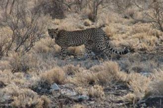 Cheetah in Meru