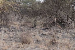 Three cheetahs in the bush – female with two sub-adult cubs