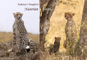 Kakenya reaised to independence 4 cubs out of 5. Here are two sisters named by rangers Naserian and Naretoi