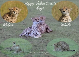 Cheetahs in Courtship: Leboo and Miale. Happy Valentine's Day!