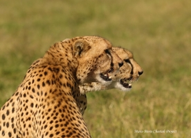 COMPETITION FOR THE RESOURCES. MKALI AND MWANGA - FEEDING TIME