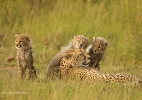 Neema with her cubs