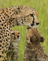 Selenkei is raising two cubs out of five born in the Naboisho Conservancy
