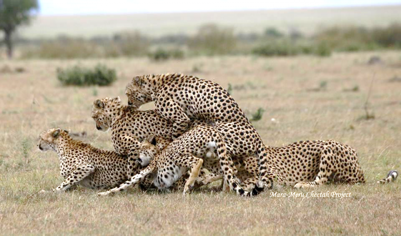 Cheetahs' encounters