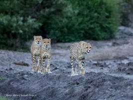 ROSETTA and HER CUBS – RUKA, RAFIKI and RISASI