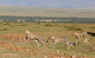 Amani cubs hunting in 2 kilometers from the mother