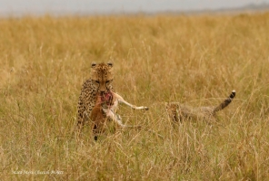 Another day - Kweli is carrying the kill to the bush where she was resting with her remaining cub