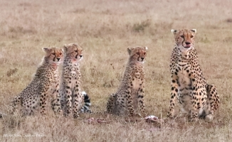 Listening communication of hyenas approaching the spot of the first kill