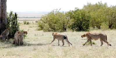 The Complexity of Life in Male Cheetahs