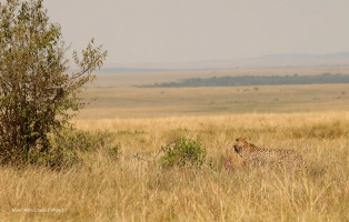 Almost there. Kweli spent 6 hours in this big bush with her cub feeding and sleeping away from curious eyes of predators