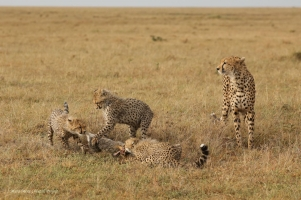 Eventually, all cubs ate from that kill