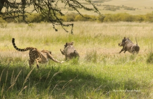 Imani protecting her kill from 4 adult warthogs