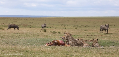 Warthogs are circling around cheetah family