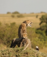 Kweli is desperately calling for her lost cub