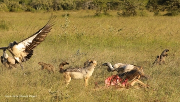 The last to arrive were the mongooses, and the vultures again had to wait for their turn to eat.