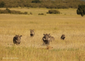 A family of warthogs approaching Kisaru's family