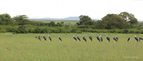 Marabu storks approaching Selenkei family