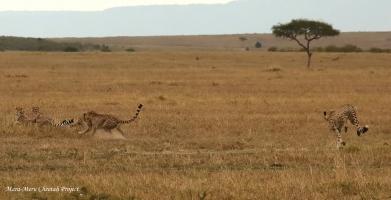 Tano Bora males spotted Nashipai