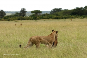 Three more lionesses approach the hunter