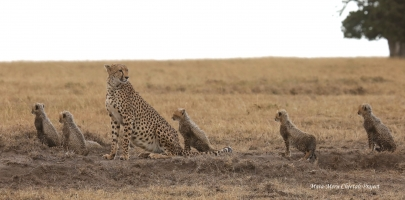 Kisaru and cubs are watching hyena and jackals eating their kill from 100m distance