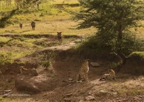 Nashipai with 2 cubs