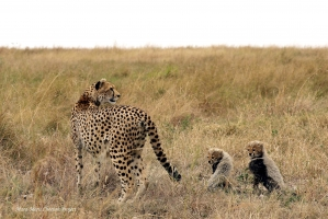 The family was resting in the evening when Nashipai heard hyenas and led her cubs away from that field