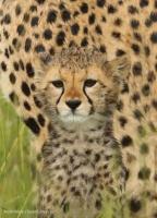 Selenkei's cub