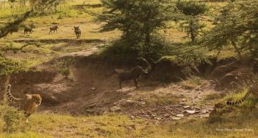 Nashipai and cubs give up