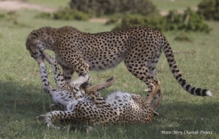 New cheetahs in the Reserve - Kiraposhe's cubs