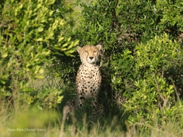 New Cheetah Male in Sopa