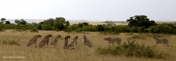 8 cheetahs - Fast Five, Malaika and her two sons (on the right)