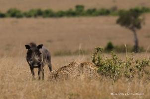Adult warthog and Tano Bora