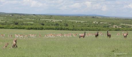 Antelopes watching cheetahs eating