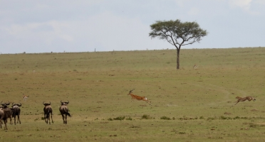 Quality of photos is poor due to a large distance to the hunting cheetah