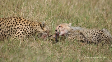 Rani and her cub are eating the first Thomson's gazelle fawn