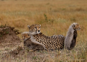 Resting with cubs