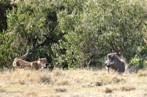 Rosetta chasing a male Warthog from the cubs