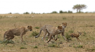 Three cubs chasing a fawn