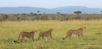 Three of the Chai Boys in March 2020 - the last male was the one spotted alone in September 2020