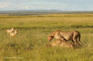 While Mkali is eating, Mwanga is ready to defend the kill