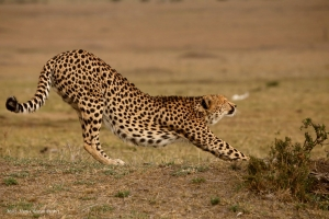 Cheetah' life challenges