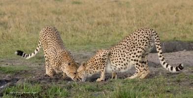 Cheetah castling