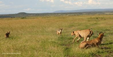 Mkali is chasing jackals