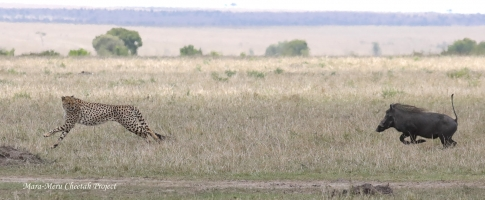 Olonyok chased by warthogs